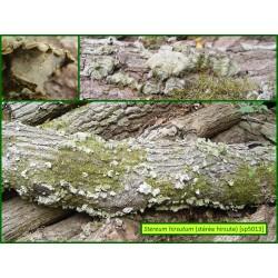Stérée hirsute - Stereum hirsutum - 5013
