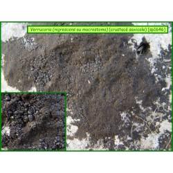Verrucaria (rufescens ou macrostoma) - 1646
