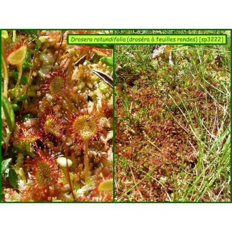 Rossolis (Drosera)  à feuilles rondes - Drosera rotundifolia - 3222
