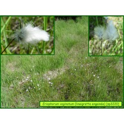 Linaigrette engainée - Eriophorum vaginatum - 3220