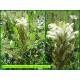 Pédiculaire chevelue - Pedicularis comosa - 3301