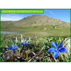 Gentiane du printemps - Gentiana verna - 3303