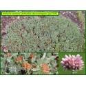 Anthyllide des montagnes - Anthyllis montana - 3305
