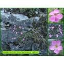 Œillet des rochers - Dianthus saxicola - 3285