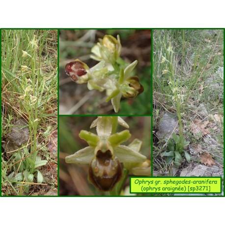 Ophrys araignée - Ophrys gr. sphegodes-aranifera - 3271