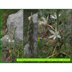 Ornithogale des Pyrénées - Ornithogalum pyrenaicum - 3281