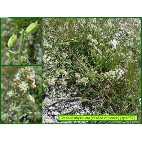 Réséda raiponce - Reseda phyteuma - 3257