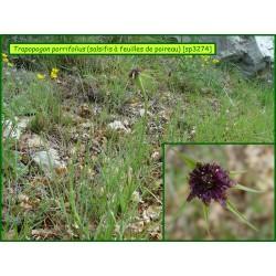 Salsifis à feuilles de poireau - Trapopogon porrifolius - 3274