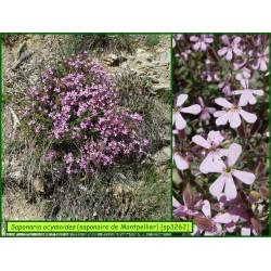 Saponaire de Montpellier - Saponaria ocymoides - 3262