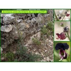 Scrofulaire des chiens - Scrofularia canina - 3287
