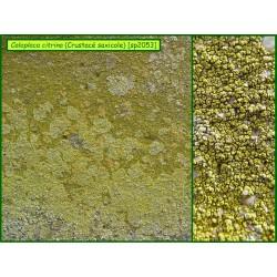 Caloplaca citrina - Crustacé saxicole - 2053