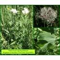 Pigamon à feuilles d'Ancolie - Thalictrum aquilegiifolium - 3300