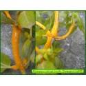 Rouille de la Mercuriale - Melampsora rostrupii - 882