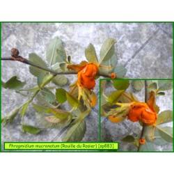 Phragmidium mucronatum - Rouille du Rosier - 883