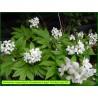 Cardamine à sept folioles - Cardamine heptaphylla -3312