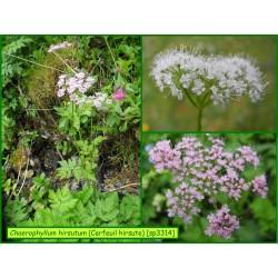 Cerfeuil hirsute - Chaerophyllum hirsutum - 3314