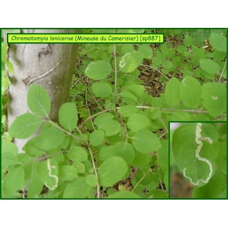 Mineuse du Camerisier - Chromatomyia lonicerae - 887