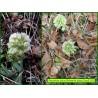 Pétasite blanc - Petasites albus - 3311