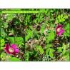 Rosier des Alpes - Rosa pendulina - 3317