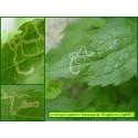 Mineuse de l'Eupatoire - Liriomyza eupatorii - 892