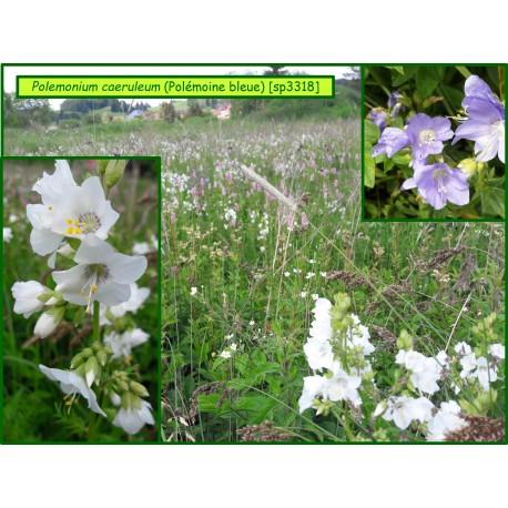 Valériane grecque - Polemonium caeruleum - 3318