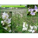 Polémoine bleue - Polemonium caeruleum - 3318