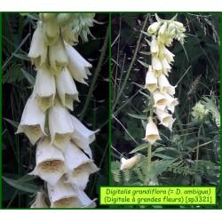 Digitale à grandes fleurs - Digitalis grandiflora - 3321