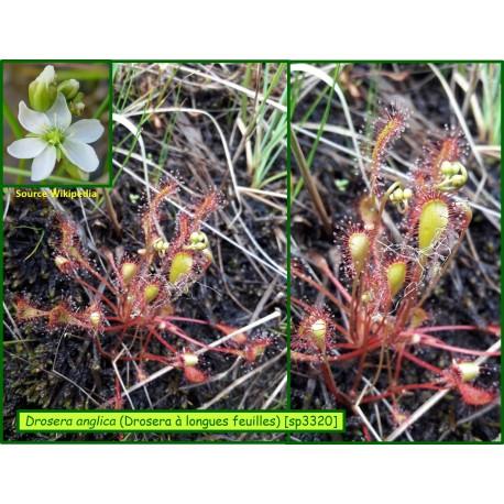 Drosera à longues feuilles - Drosera anglica - 3320