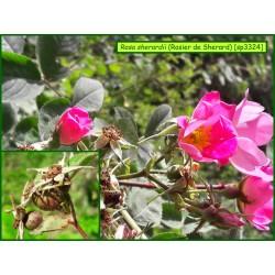 Rosier de Sherard - Rosa sherardii - 3324