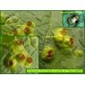 Galle du Tilleul - Didymomyia tilaceae - 894