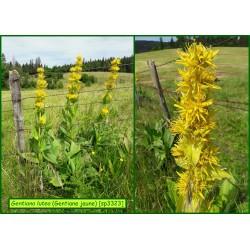 Gentiane jaune - Gentiana lutea - 3323