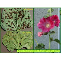 Rouille de la Rose trémière - Puccinia melampsora - 897