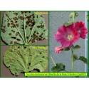 Rouille de la Rose trémière - Puccinia malvacearum - 897
