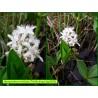 Trèfle d'eau - Menyanthes trifoliata - 3319