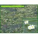 Renoncule des rivières - Ranunculus fluitans - 895