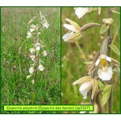 Épipactis des marais - Epipactis palustris - 3327