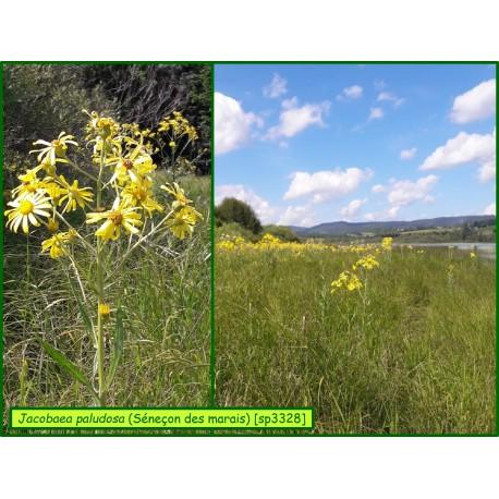 Séneçon des marais - Jacobaea palustris - 3328