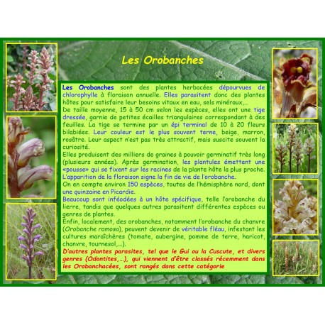Orobanches - introduction