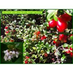 Airelle rouge - Vaccinium vitis-idaea - 3329