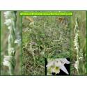 Spiranthe d'automne - Spiranthes spiralis - 900