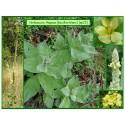 Bouillon blanc - Verbascum thapsus - 022