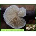 Crépidote des mousses - Crepidotus epibryus - 5049