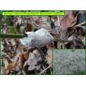 Écume blanche - Mucilago crustacea - Myxomycète - 5053