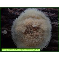 Leucogyrophana (Merulius) pseudomollusca - 5046