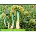 Hygrophore perroquet - Gliophorus psittacinus - 5054