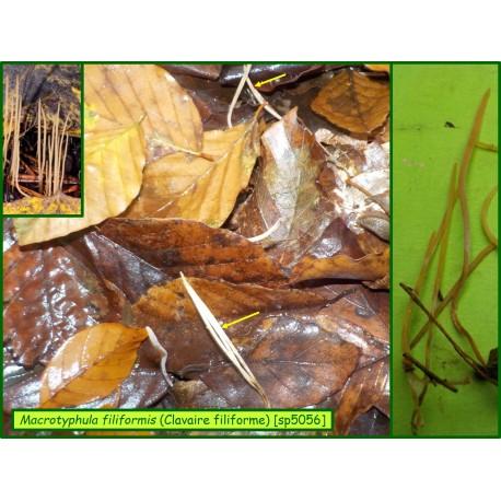 Clavaire filiforme - Macrotyphula filiformis - 5056