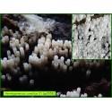 Henningsomyces candidus - 5058
