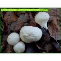 Vesse de loup en forme de poire - Apioperdon piriforme -5059