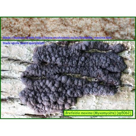 Brefeldia maxima - Myxomycète - 5062