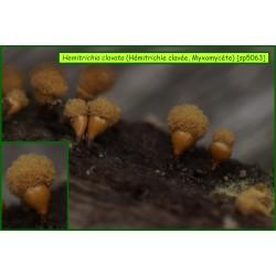 Hémitrichie clavée - Hemitrichia clavata - Myxomycète - 5063